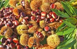 秋天结构的栗子、猬和栗子叶子 图库摄影