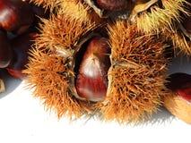 秋天结构的栗子,在白色背景的猬 免版税库存图片