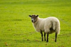 秋天绵羊 库存图片