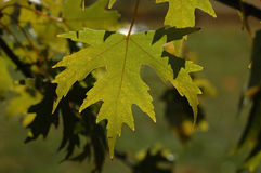 秋天绿色留下口气 免版税库存照片