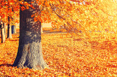 秋天美丽如画的风景-与下落的秋叶的desiduous秋天树由阳光点燃了 免版税图库摄影