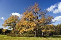 秋天美丽的日橡木晴朗的结构树 免版税库存照片