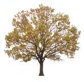 秋天美丽的结构树 库存图片