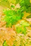 秋天美丽的颜色叶子槭树 免版税库存照片