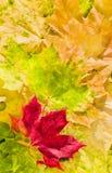 秋天美丽的颜色叶子槭树 图库摄影