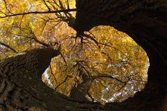 秋天老结构树 免版税库存图片