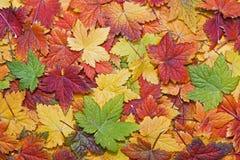 秋天背景五颜六色的叶子 免版税库存照片