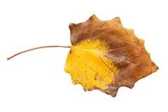 秋天背景例证叶子向量白色 图库摄影
