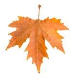 秋天背景例证叶子向量白色 免版税库存图片
