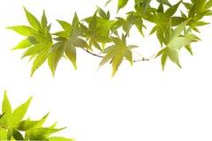 秋天背景叶子离开槭树 免版税图库摄影