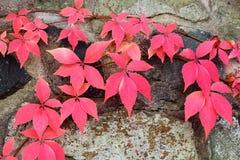秋天背景叶子红色 库存图片