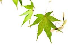 秋天背景查出叶子叶子槭树白色 免版税库存照片