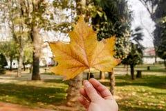 秋天背景查出的叶子槭树白色 时间在公园 免版税库存图片