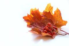 秋天背景查出的叶子槭树白色 免版税库存照片