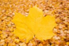 秋天背景查出的叶子槭树白色 库存图片