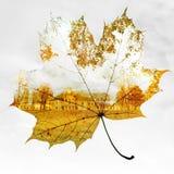 秋天背景查出的叶子槭树白色 库存照片