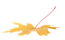 秋天背景查出的叶子槭树白色 图库摄影
