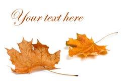 秋天背景查出的叶子白色 免版税图库摄影
