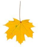 秋天背景查出的叶子白色 库存照片