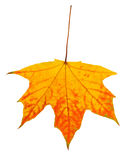 秋天背景查出的叶子白色 库存图片