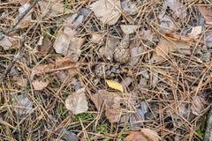 秋天背景特写镜头上色常春藤叶子橙红 下落的锥体、针和叶子在前面 免版税图库摄影