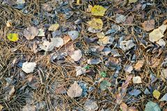 秋天背景特写镜头上色常春藤叶子橙红 下落的锥体、针和叶子在前面 库存图片