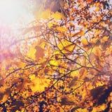 秋天背景特写镜头上色常春藤叶子橙红 在发光在阳光下的树的五颜六色的叶子 库存照片