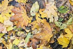 秋天背景特写镜头上色常春藤叶子橙红 在平的口气的干燥橙色叶子 下落的叶子在森林里碍手碍脚 秋天愚钝的口气样式 库存图片