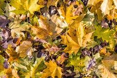 秋天背景特写镜头上色常春藤叶子橙红 在平的口气的干燥橙色叶子 下落的叶子在森林里碍手碍脚 秋天愚钝的口气样式 库存照片