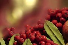 秋天背景特写镜头上色常春藤叶子橙红 在秋天黄色红色bokeh背景背景的红色莓果花揪特写镜头  特写镜头 免版税库存照片