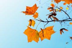 秋天背景特写镜头上色常春藤叶子橙红 在蓝天背景的橙色槭树秋叶  免版税库存图片