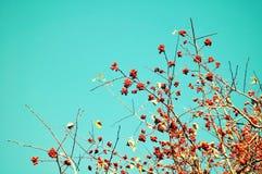 秋天背景特写镜头上色常春藤叶子橙红 秋天反对蓝天的花楸浆果树分支与文本的自由空间 库存照片