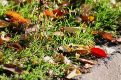 秋天背景特写镜头上色常春藤叶子橙红 红色和黄色樱桃树在草特写镜头离开 低问题的射击 图库摄影