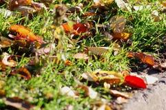秋天背景特写镜头上色常春藤叶子橙红 红色和黄色樱桃树在草特写镜头离开 低问题的射击 免版税库存图片