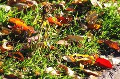 秋天背景特写镜头上色常春藤叶子橙红 红色和黄色樱桃树在草特写镜头离开 低问题的射击 免版税库存照片