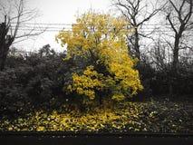 秋天背景特写镜头上色常春藤叶子橙红 黄色木头一切别的东西是黑白的 免版税图库摄影