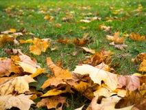 秋天背景特写镜头上色常春藤叶子橙红 免版税库存图片