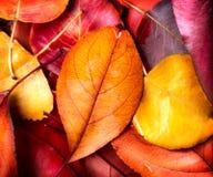 秋天背景特写镜头上色常春藤叶子橙红 五颜六色的叶子 免版税库存图片