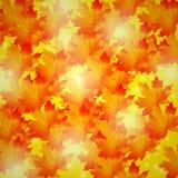 秋天背景特写镜头上色常春藤叶子橙红 金黄叶子槭树 免版税图库摄影