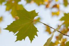 秋天背景特写镜头上色常春藤叶子橙红 图库摄影
