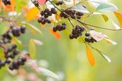 秋天背景用莓果 免版税库存图片