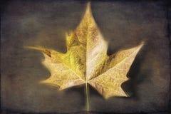 秋天背景由后照的分行明亮的颜色金黄叶子留给槭树橙红星期日结构树黄色 免版税库存图片