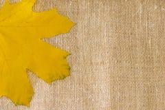 秋天背景由后照的分行明亮的颜色金黄叶子留给槭树橙红星期日结构树黄色 免版税图库摄影