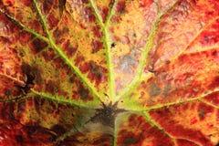 秋天背景由后照的分行明亮的颜色金黄叶子留给槭树橙红星期日结构树黄色 图库摄影