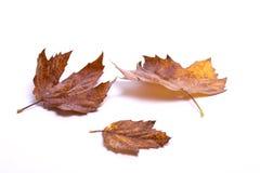 秋天背景白色 免版税库存照片