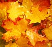 秋天背景离开槭树黄色 库存照片