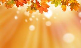 秋天背景离开槭树 免版税图库摄影