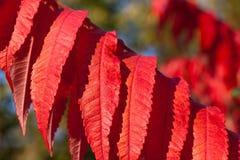 秋天背景离开红色 免版税库存照片