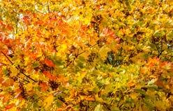 秋天背景离开透镜做的槭树照片特殊 图库摄影