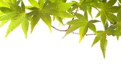 秋天背景秋天叶子槭树 免版税图库摄影